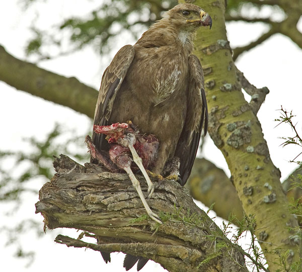 Bird of prey with kill in QENP Uganda