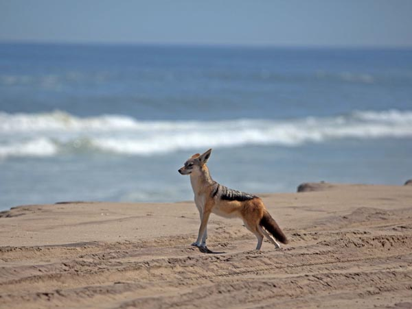 Black-backed jackal in Namibia