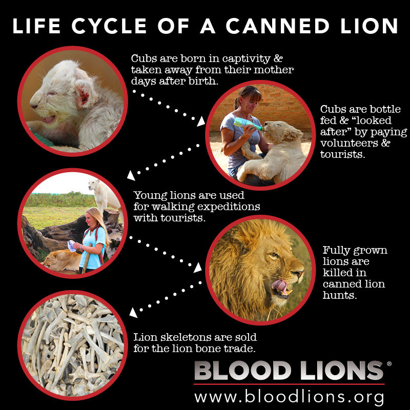Life cycle of a canned lion