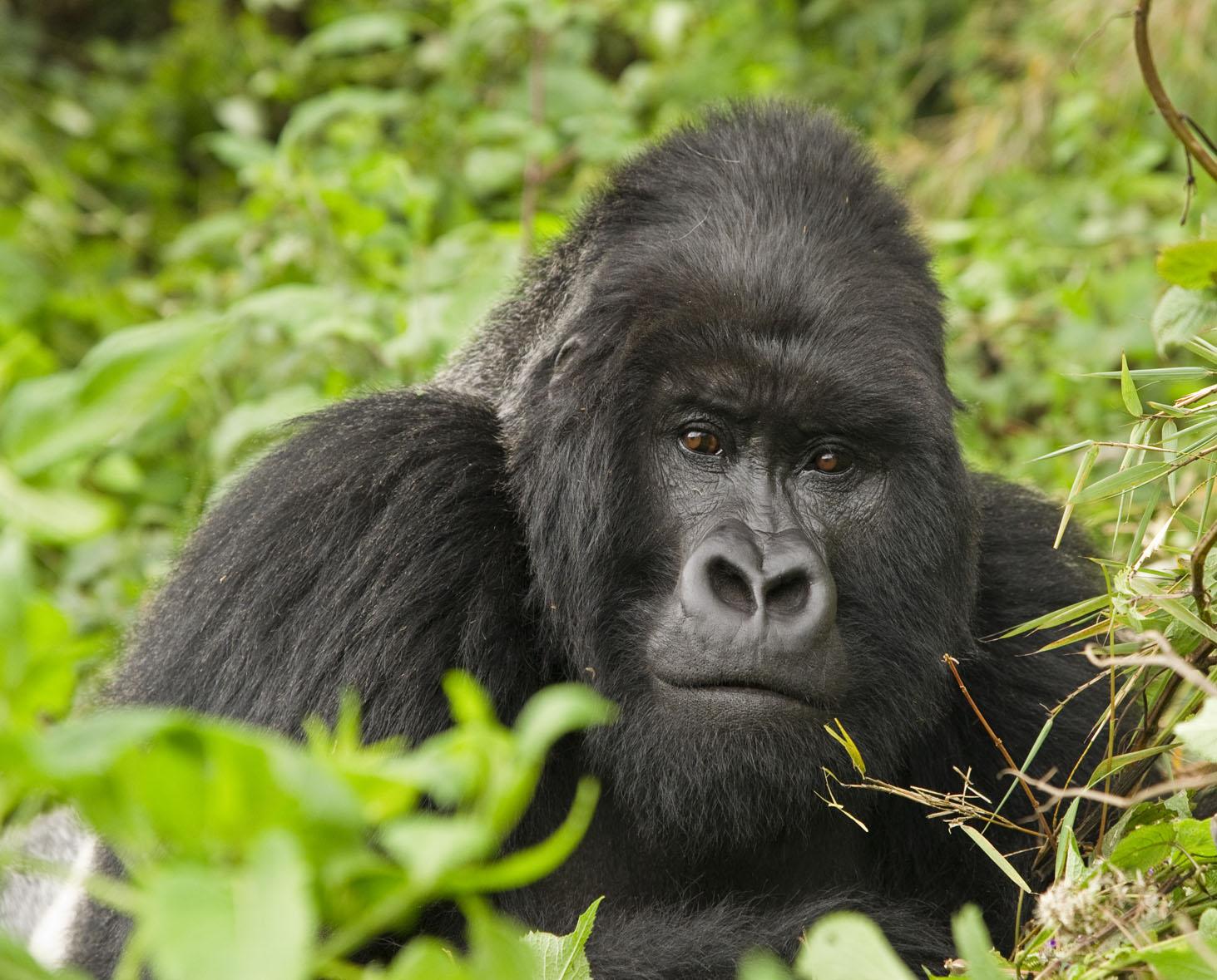 Handsome male mountain gorilla Rwanda
