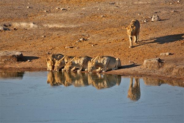 Lions drinking in eastern Etosha
