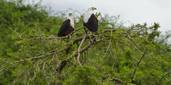 Eagles on Kazinga Channel