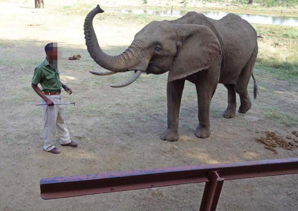 Elephant with a bullhook