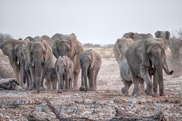 Elephants at Okaukuejo watering hole