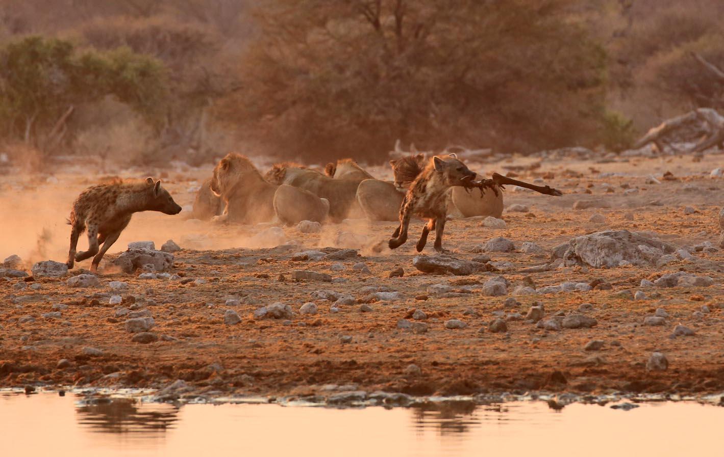 Lions vs hyenas in Etosha