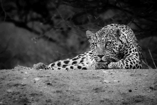 Leopard in Etosha ready to pounce