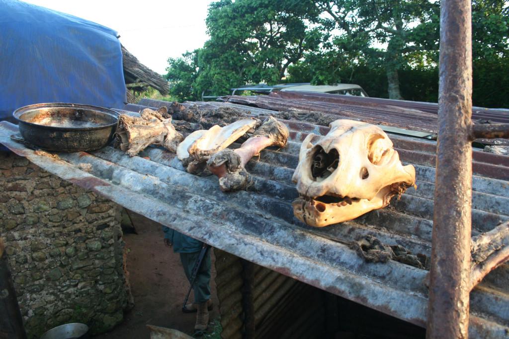 Lion bone for Asian markets