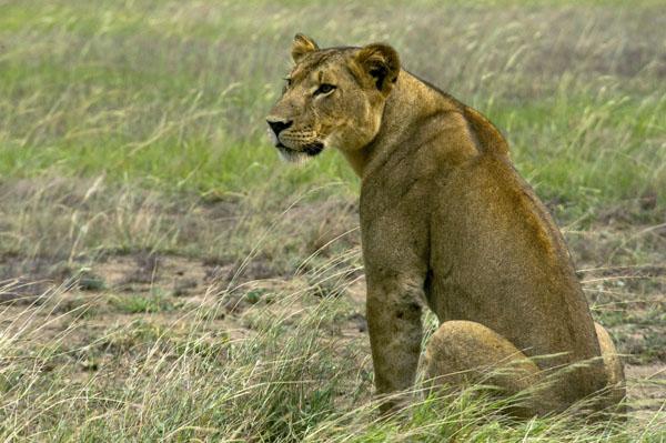 Lioness in QENP, Uganda