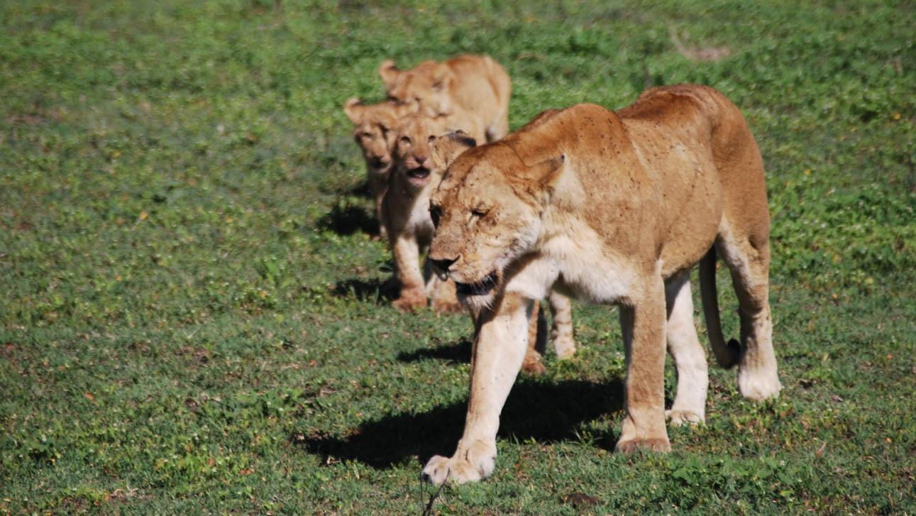 Lions in Serengeti January