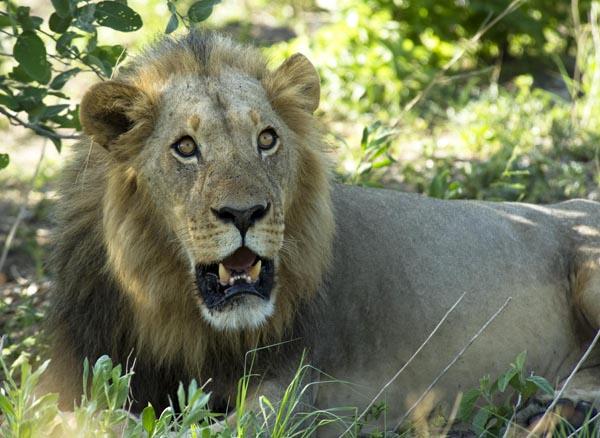 Gorgeous male lions Kalahari Botswana JGoetz