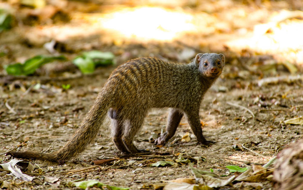 Banded mongoose, South Luangwa, Zambia