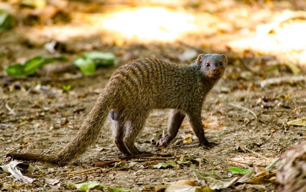 Banded mongoose, South Luangwa, Zambia