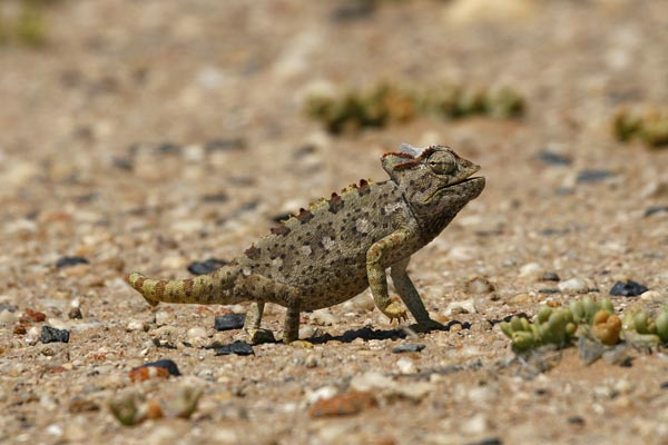 Namaqua chameleon, Your Safari