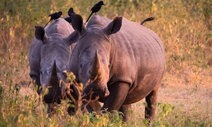 Rhinos in Ziwa Rhino Sanctuary, Uganda