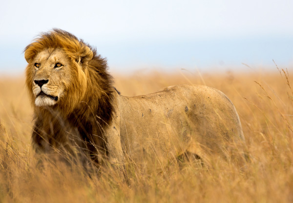 Majestic lion in the Masai Mara