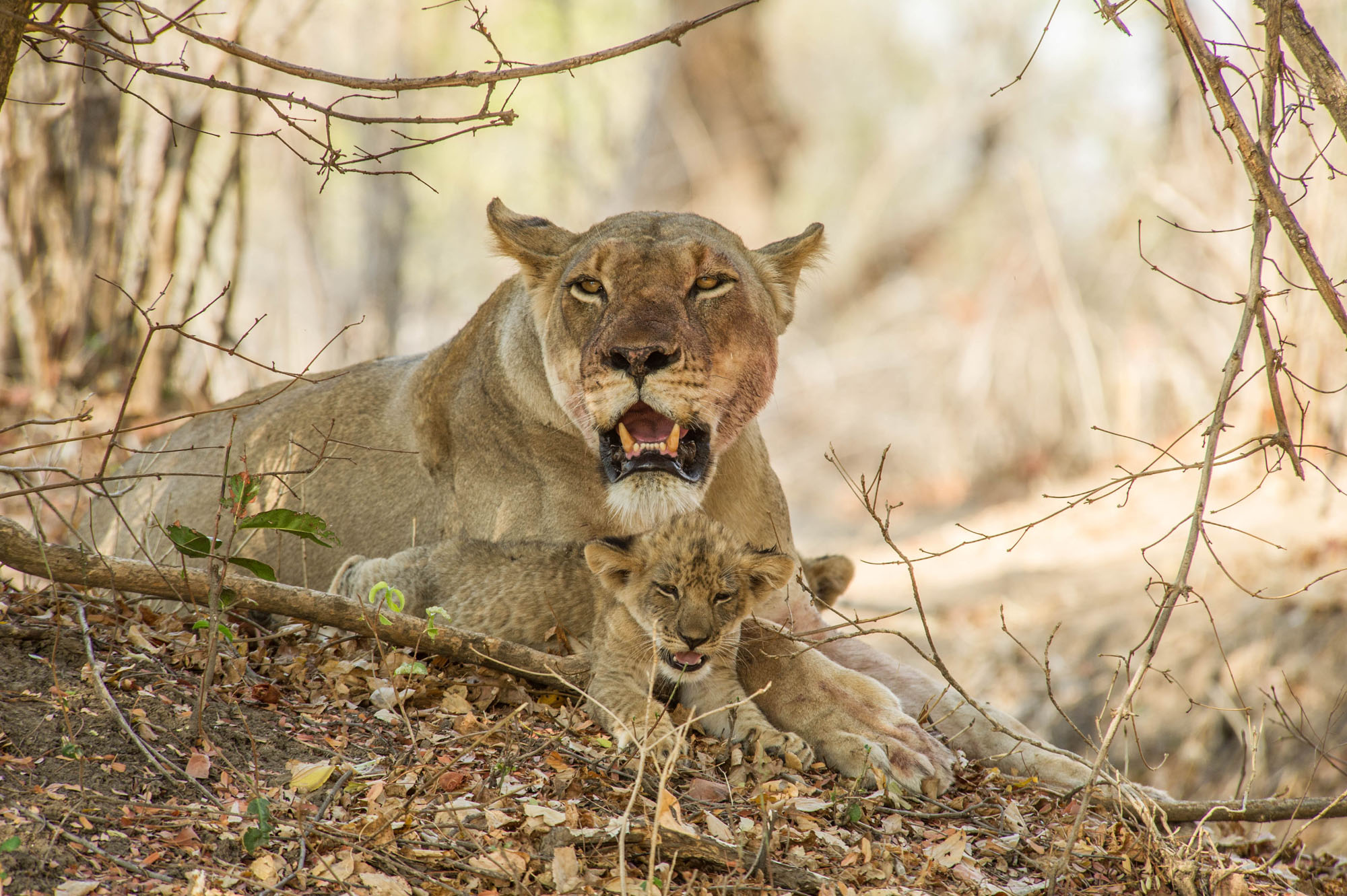 Lioness with small cubs at sunrise