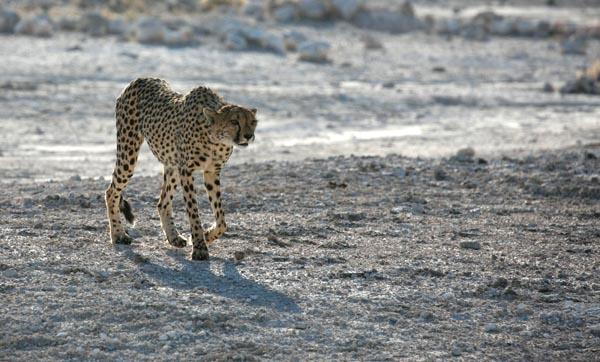 Stalking cheetah western Etosha