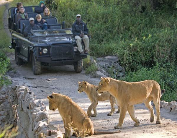 Safari vehicle pride of lions