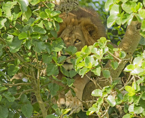 Tree-climbing lion in QENP, Uganda