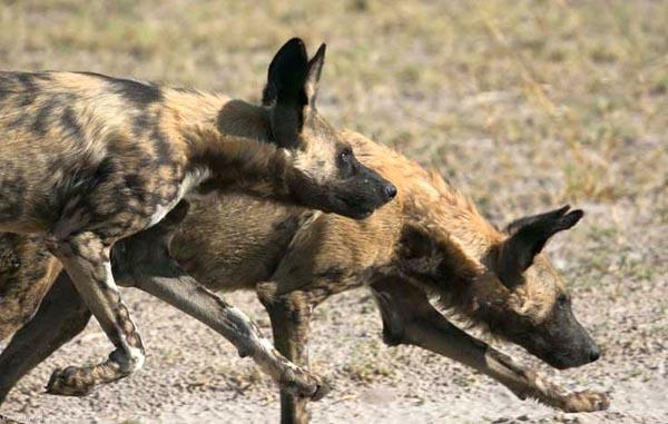 Wild dogs Caprivi strip, Namibia