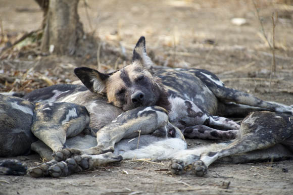 Wild dogs of South Luangwa