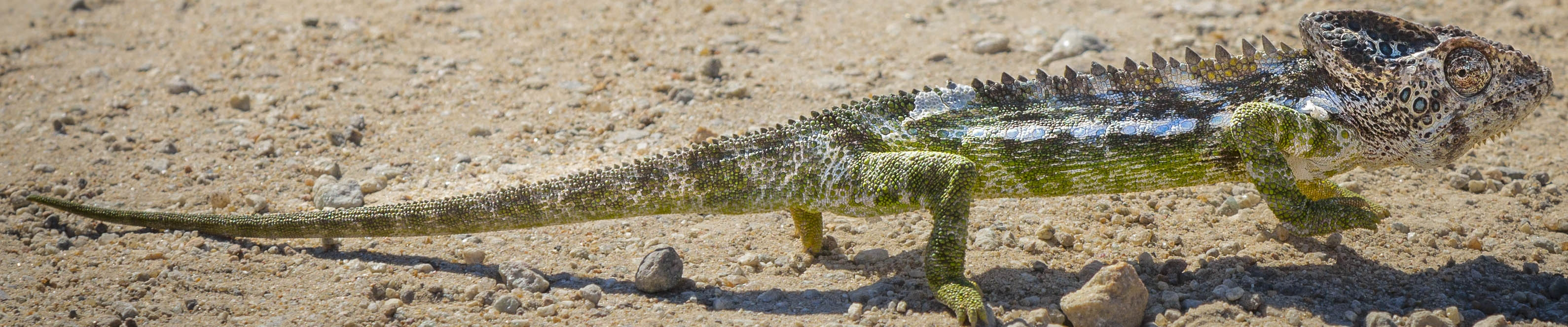 Warty chameleon in Madagascar | Mandrare River Camp