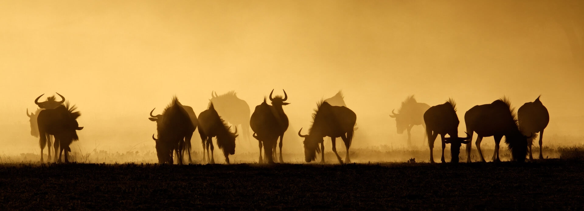 Blue wildebeest at sunrise, Kalahari Desert, South Africa