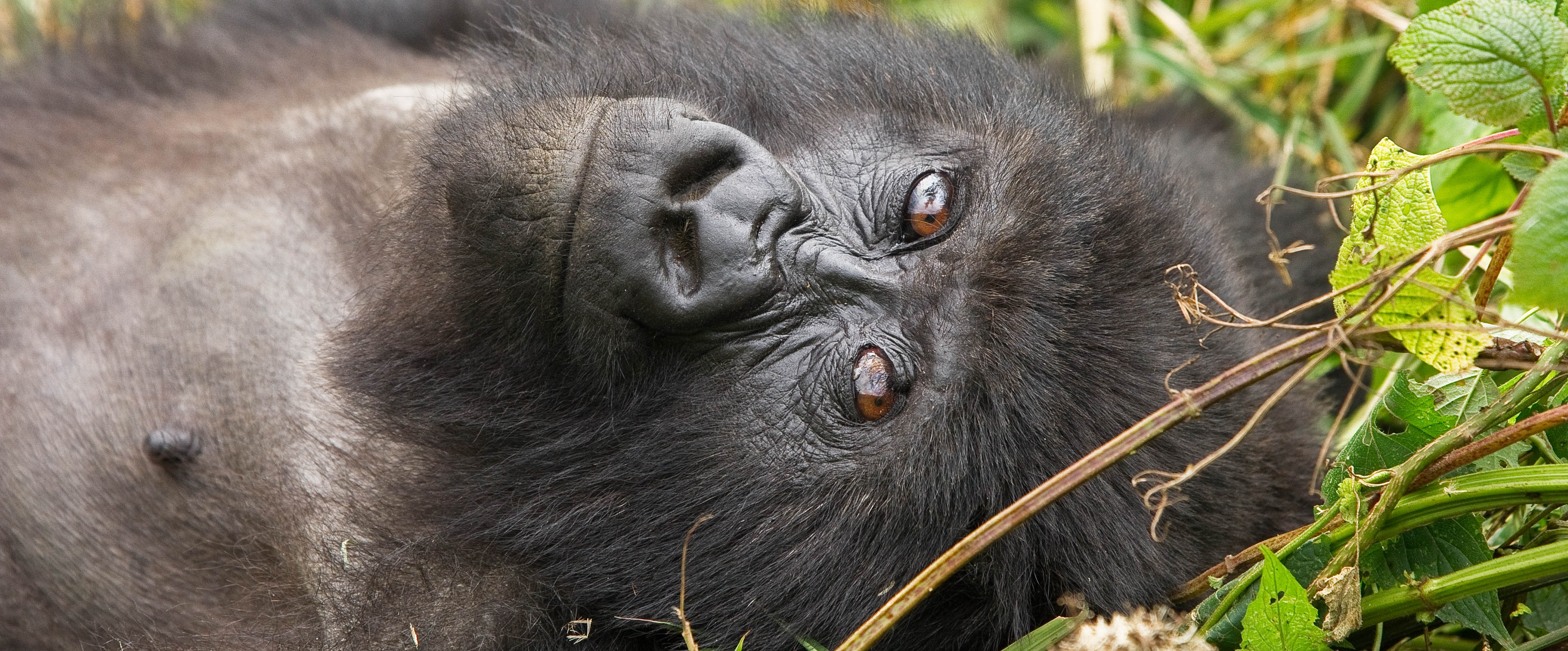 Female silverback gorilla. Volcanoes National Park