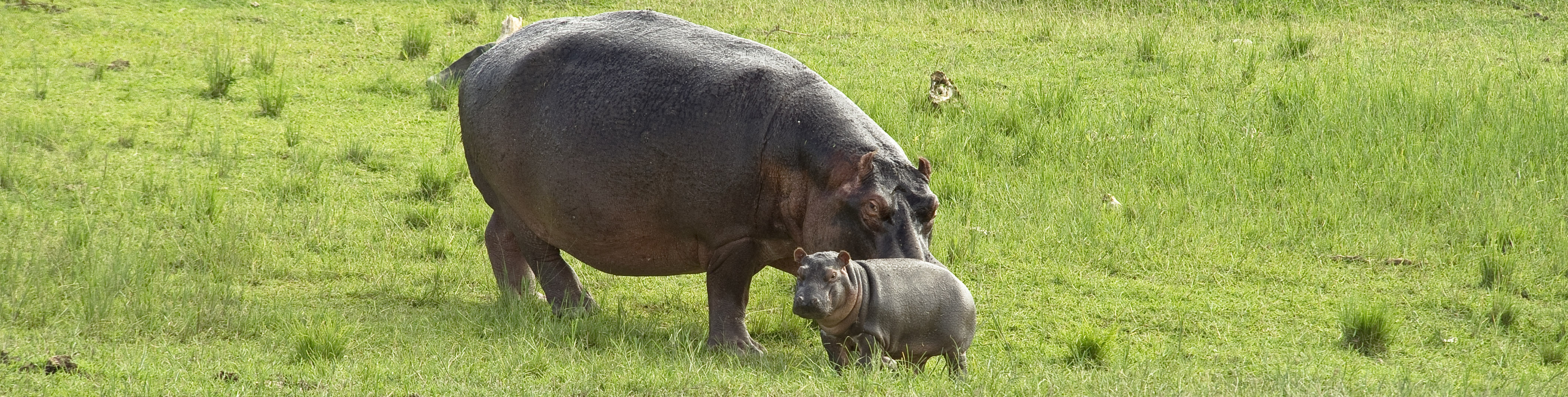 Mama hippo and baby, Queen Elizabeth National Park