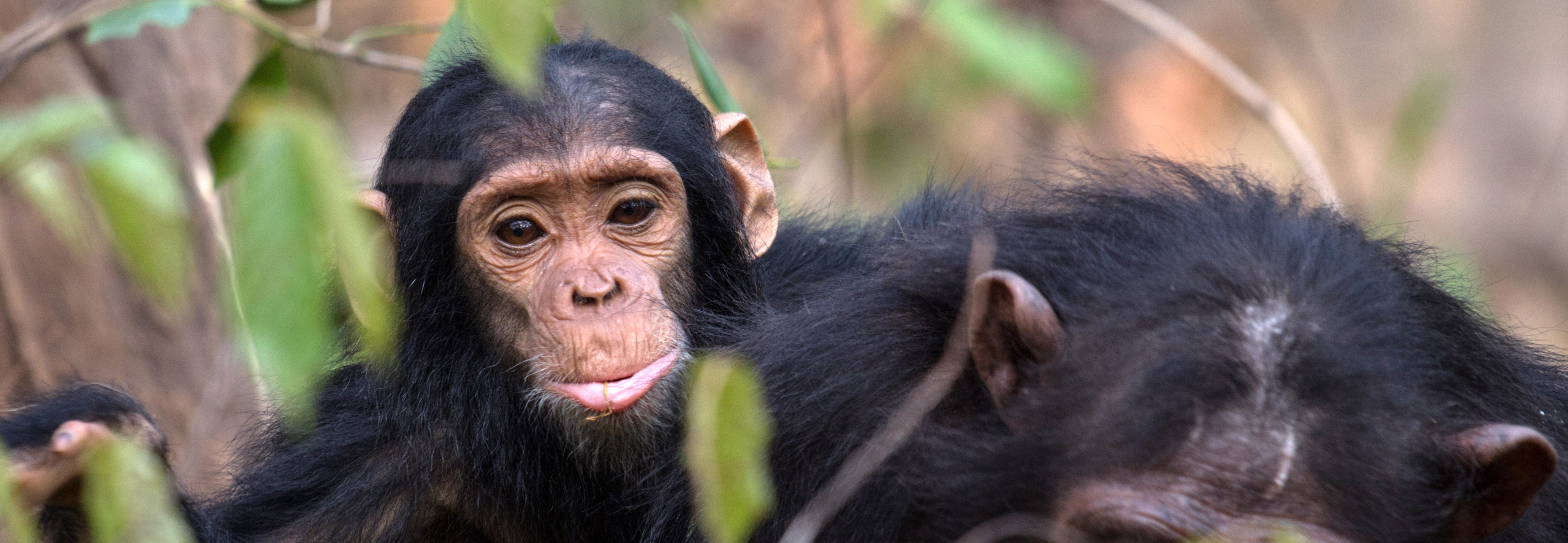 Baby chimpanzee, Gombe National park