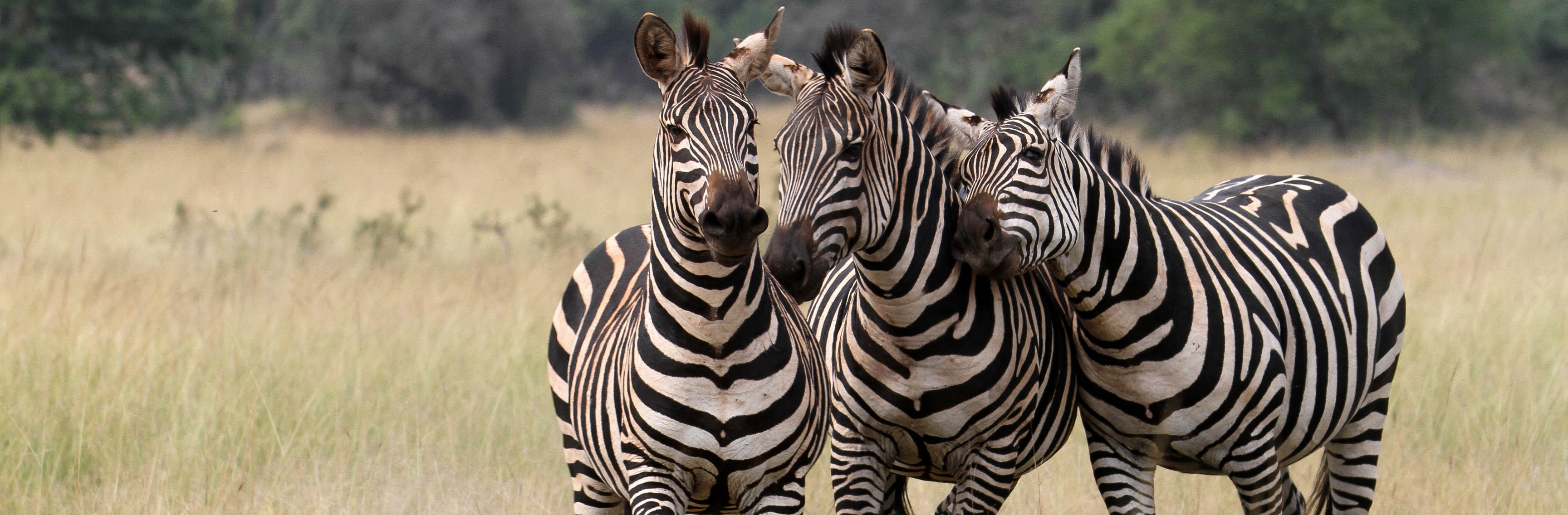 Zebra in Akagera National Park | Sarah Hall of African Parks