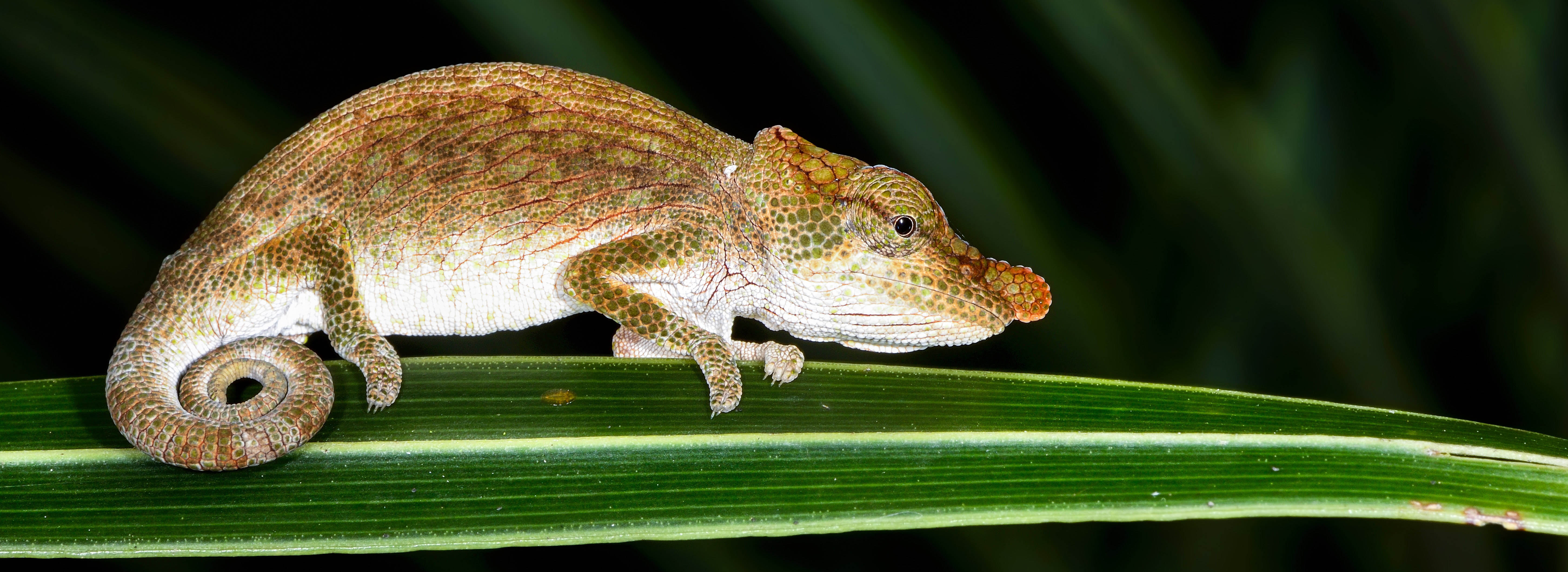 Big-nosed chameleon