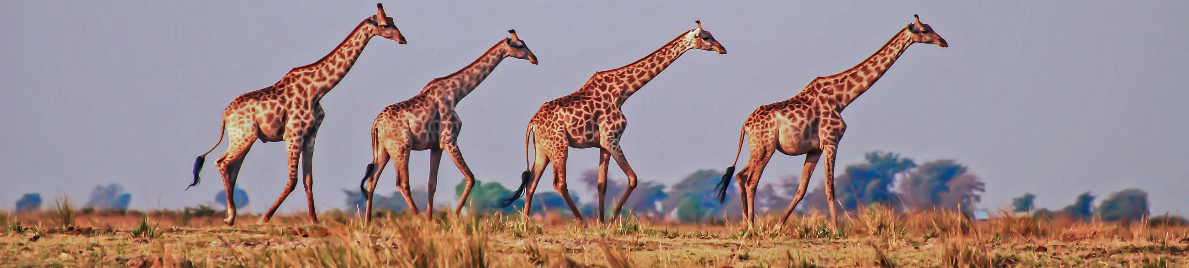 Giraffes on the Chobe floodplain | SGS Africa