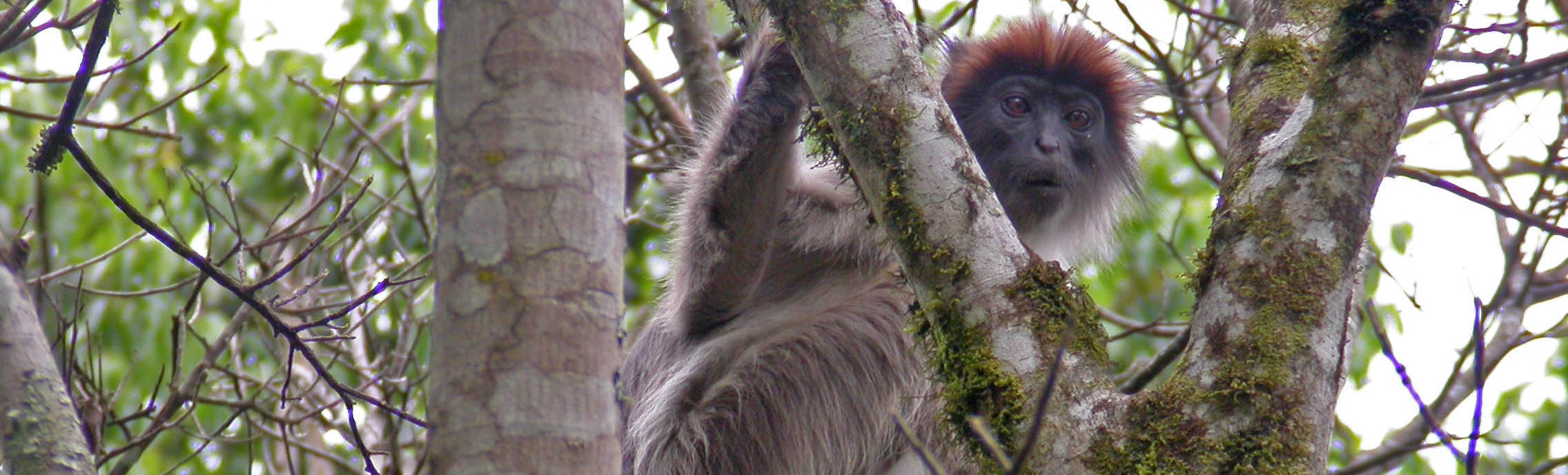 Red Colobus Monkey in Kibale