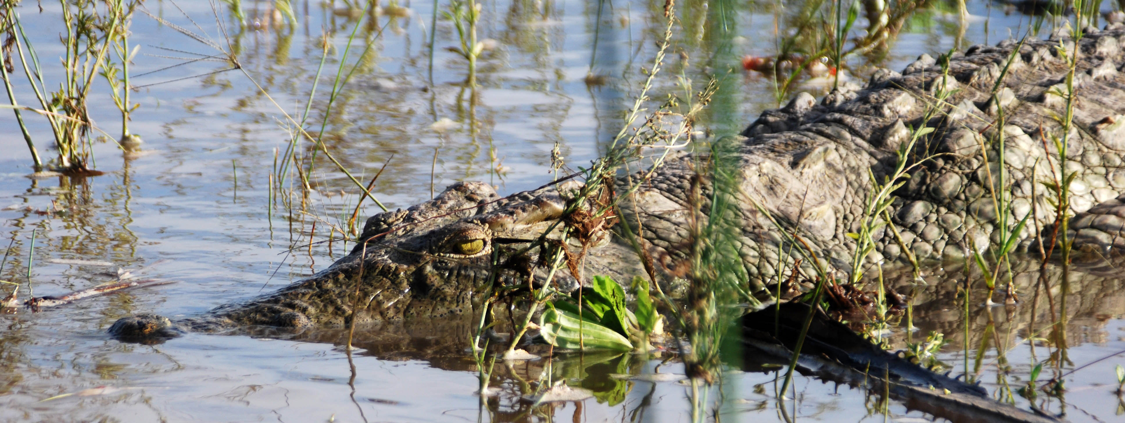 Nile crocodile in Rufiji River, Selous