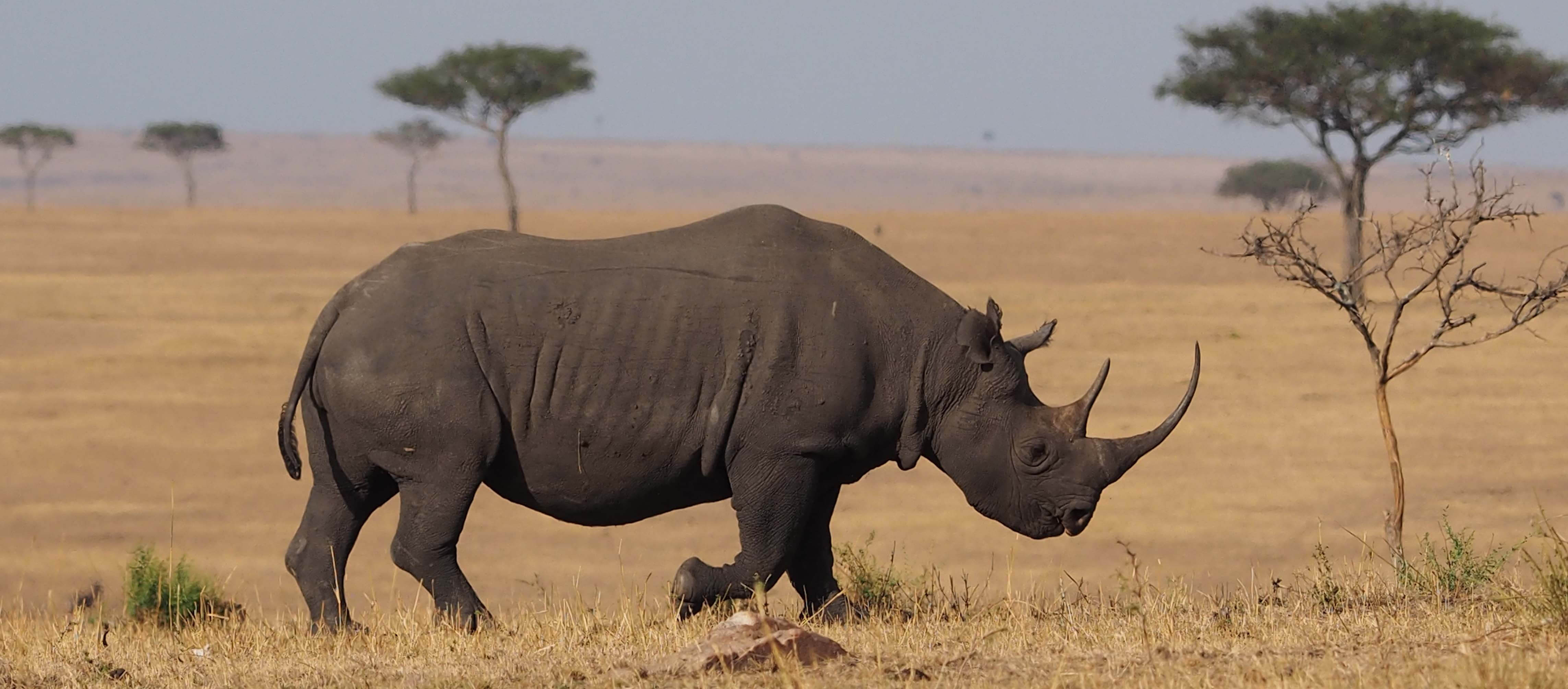 Black rhino in Northern Serengeti | Monarch Safari Guides