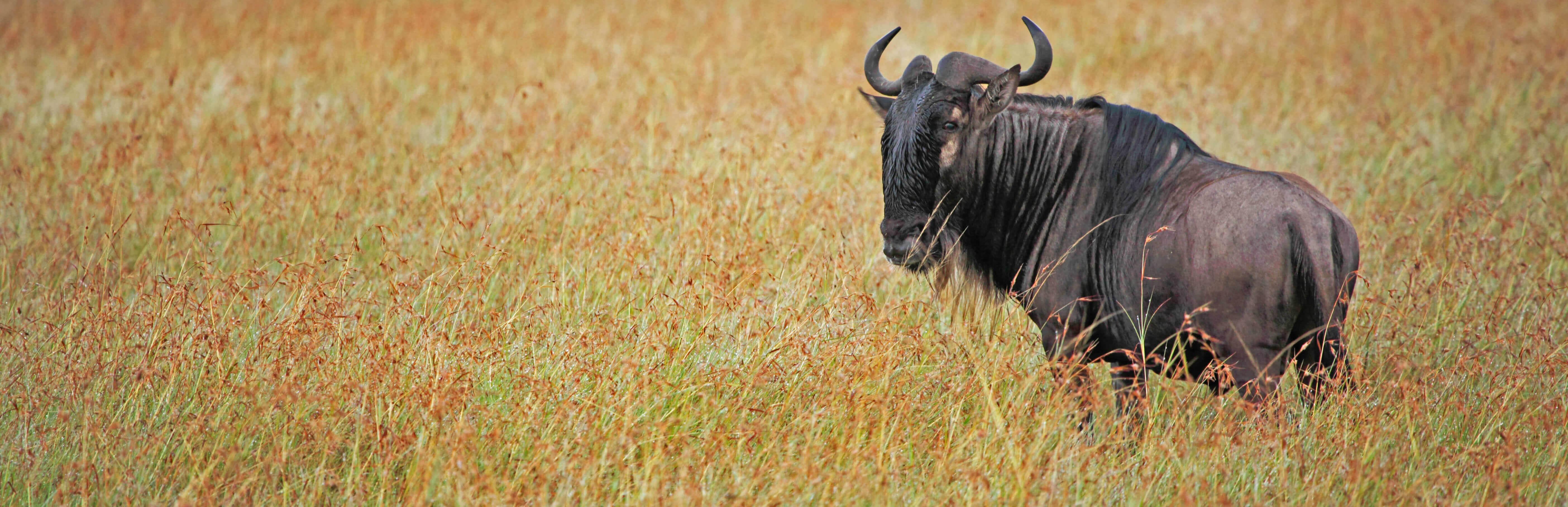 Wildebeest in Serengeti