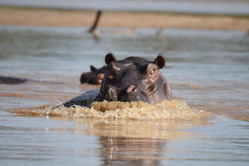 Hippo in Luangwa River