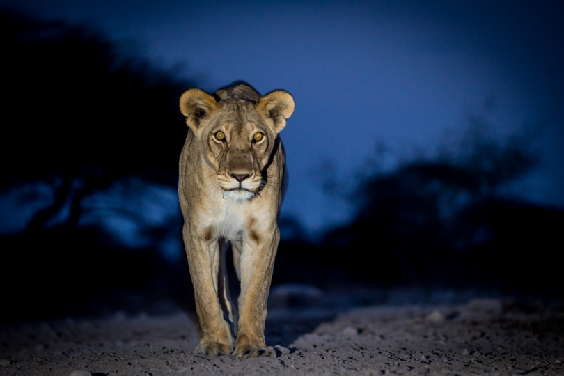 Lion in Etosha, taken from photographic hide