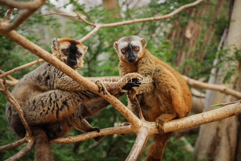 Red-fronted brown lemurs