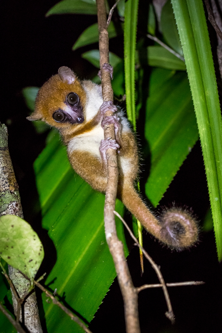 Grey-brown mouse lemur