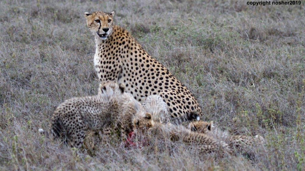 Cheetah with her cubs in the Serengeti