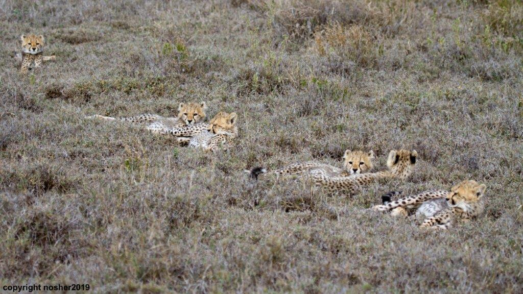 Adorable cheetah cubs in the Serengeti